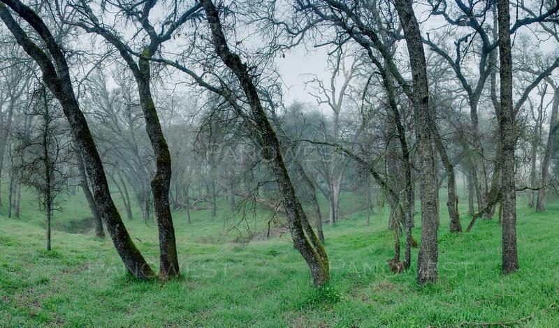 Oaks, Northern Califoria